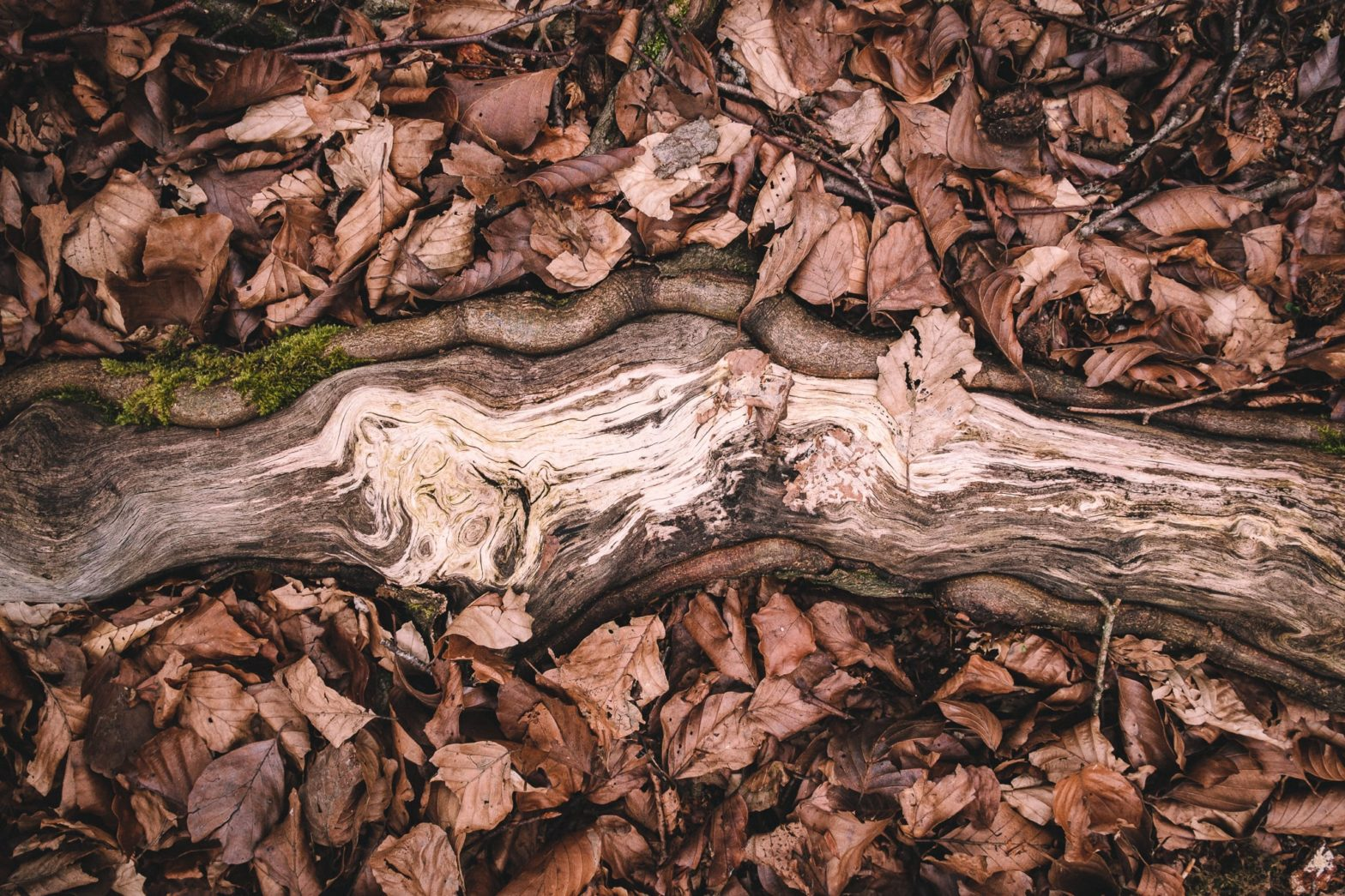 A weathered root in the forest surrounded by dry leaves