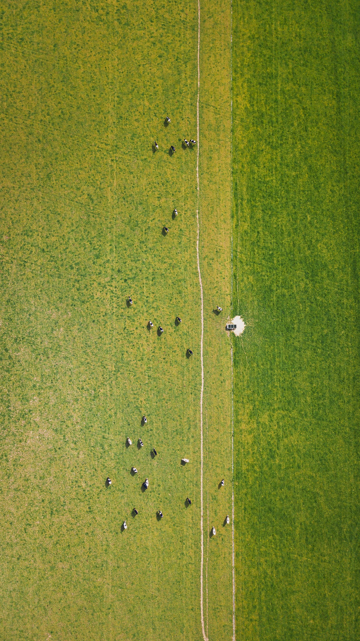 Aerial view of two green fields in spring with cattle in the left one