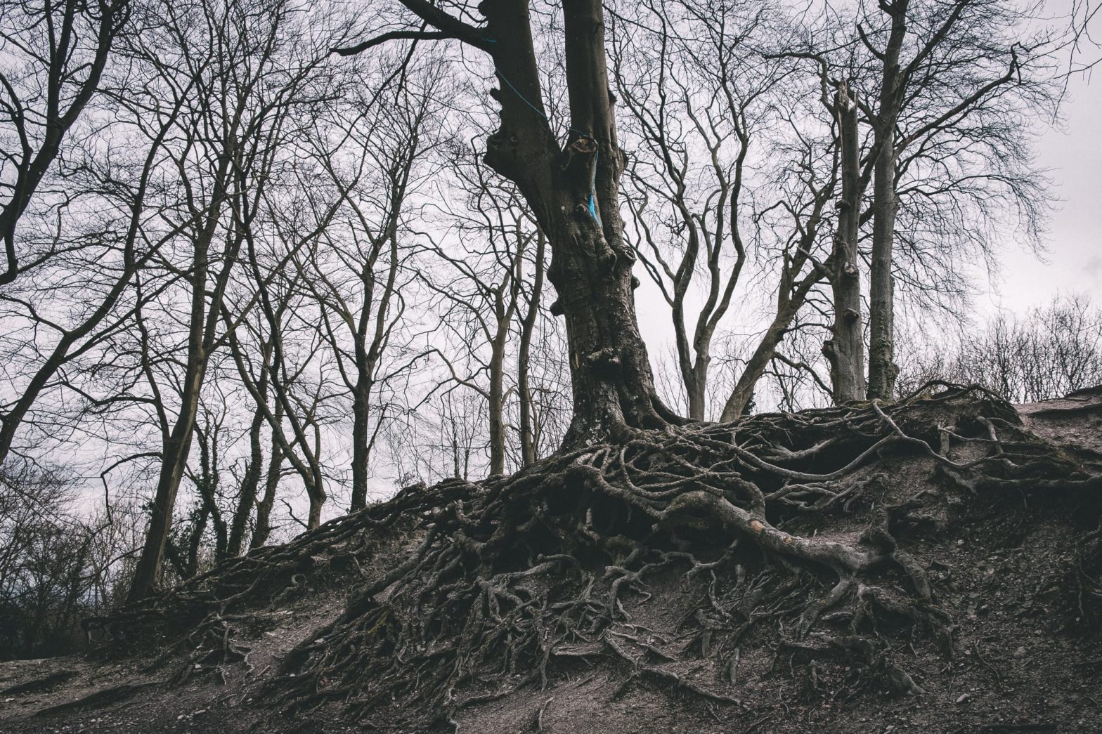 An old tree growing over the edge of a small hill with formidable root structure exposed