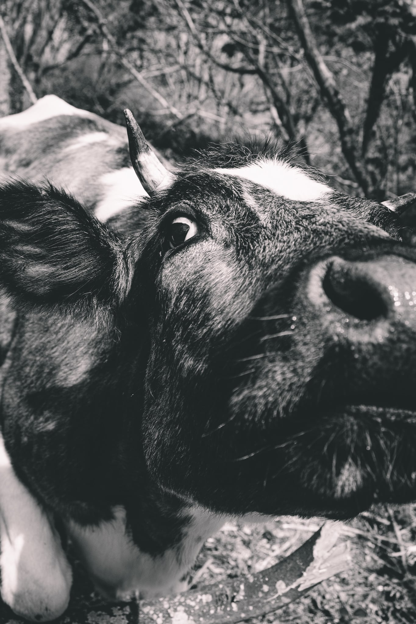 Cattle looking up at the camera with a wet nose