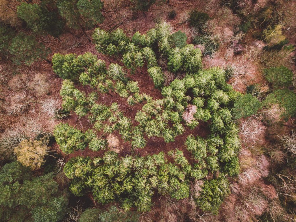 Aerial view of a evergreen trees in the forest in early spring