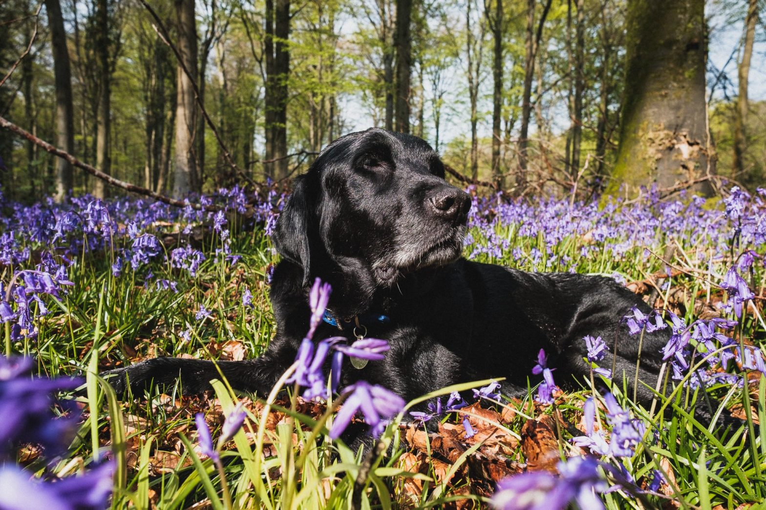 Back dog surrounded by bluebells in the woods at sunset