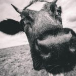 Closeup of a cattle looking up at the camera