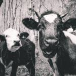 A younger and older cattle looking at the camera with a curious look on their faces