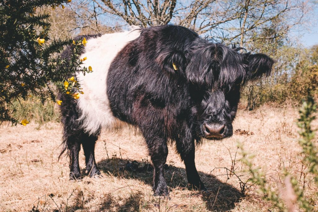 Black and white cattle standing between prickly bushes