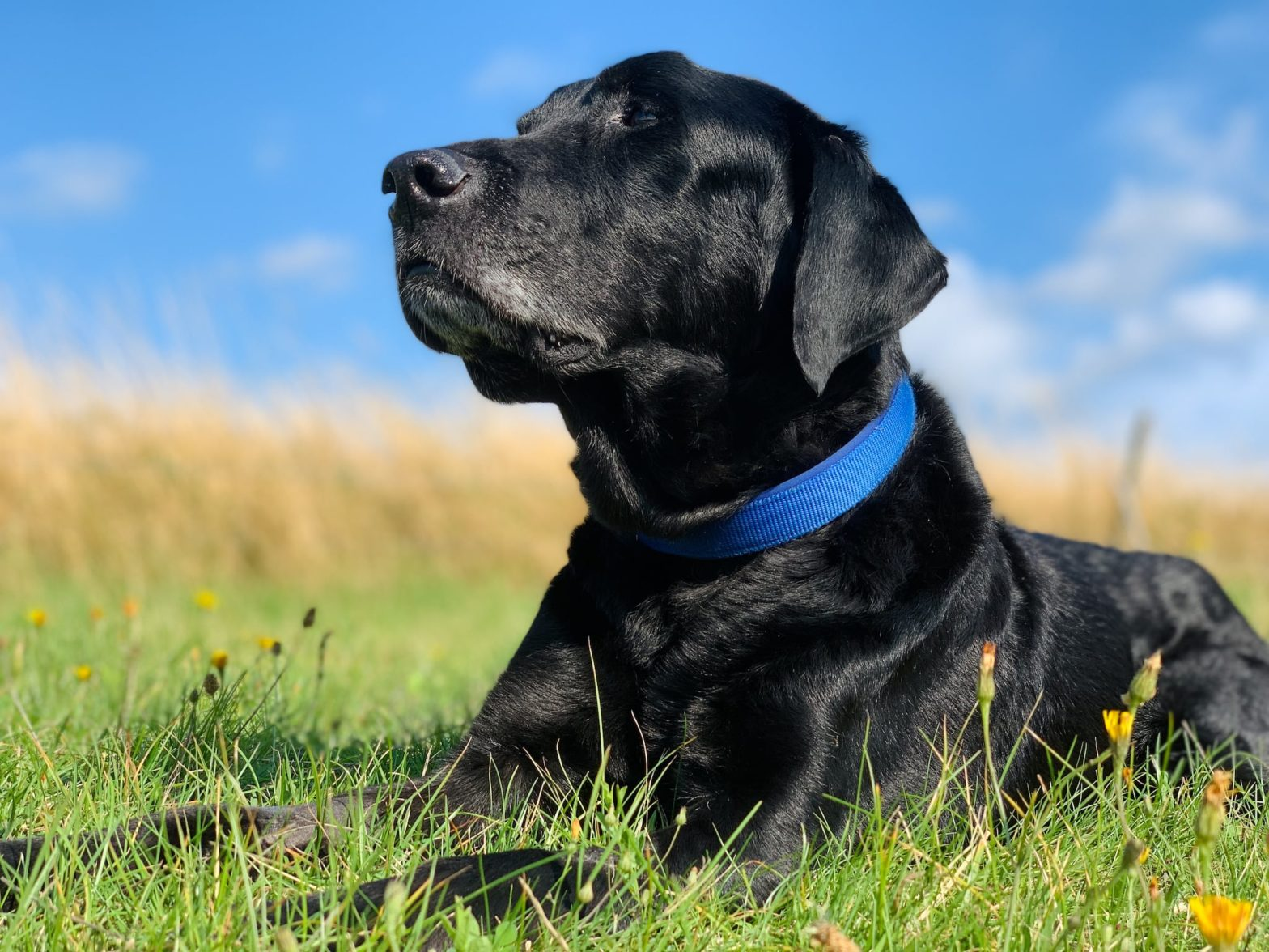 Black Labrador enjoying warm weather in the fields surrounded by wildflowers