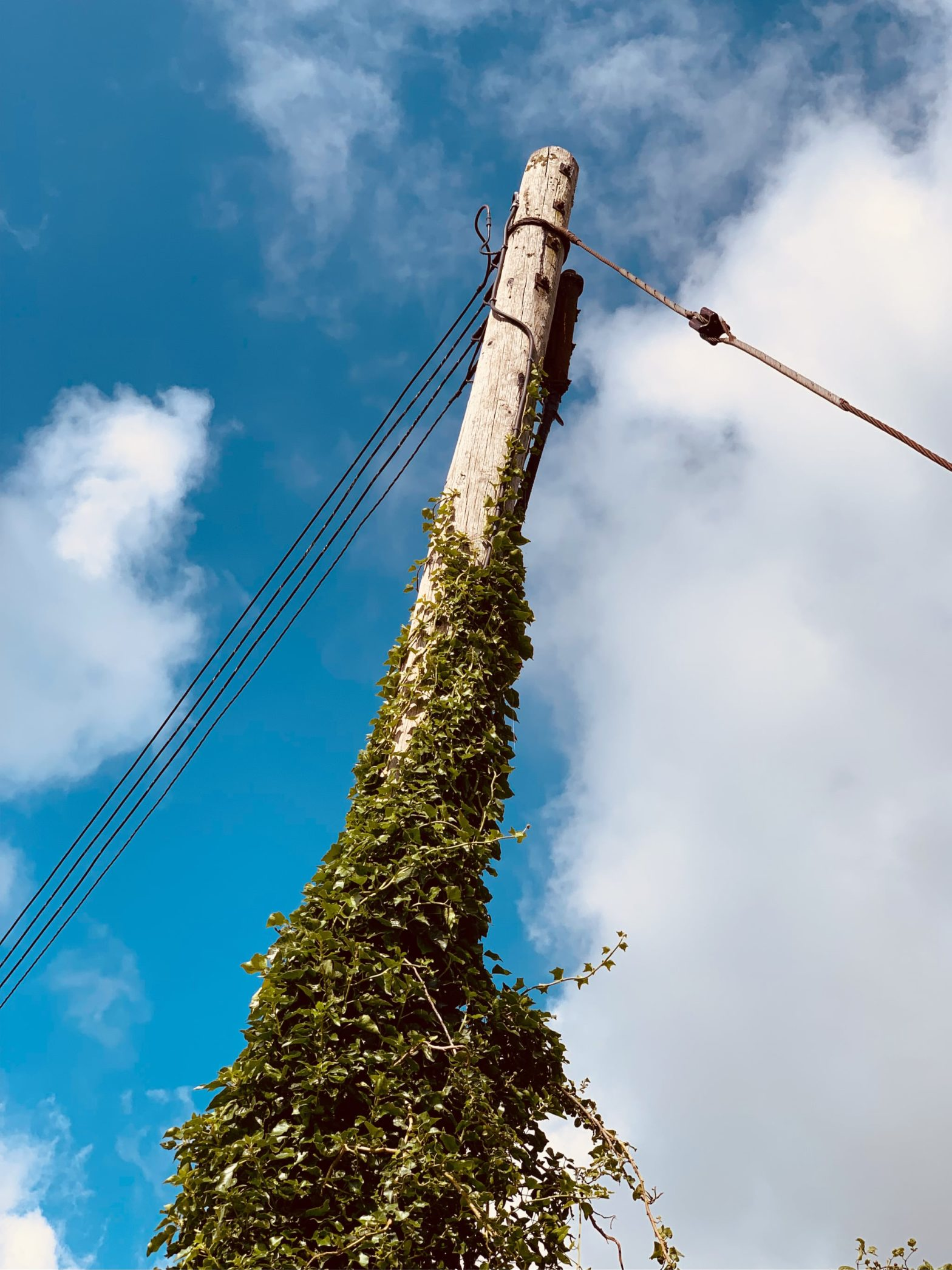 Ivy climbing up a wooden power line pole with a bright blue sky with wide clouds in the background